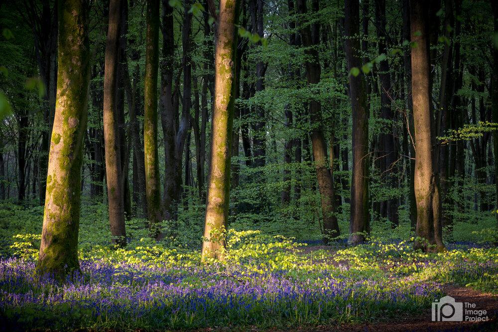 Bluebells, Northants