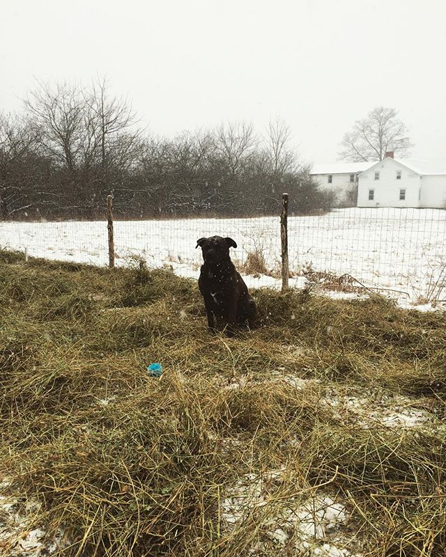 Finally mulched the garden. Counting on the snow to keep it in place. #dog #ball