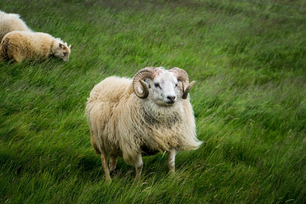"If you're like me, you're always happy to see animals so you'll gasp in shock every time you see them and scream their name, ""sheepy sheepy sheep!"" For me, it never got old. But on an island with multiple thousands of different types of animals, Tyler was over it by a few hours in. But, I mean... look! SHEEEPPPP!"
