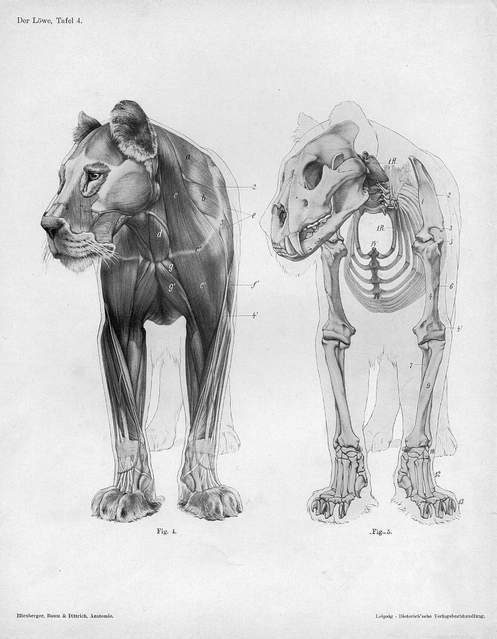 Lion_anatomy_anterior_view