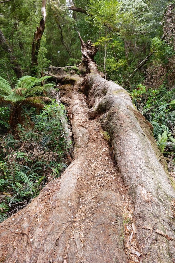 Day 5: Osmiridium Beach to Granite Beach. One the amazing huge fallen trees