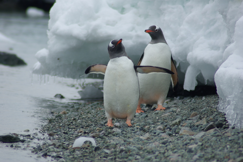 Penguins, Danco Island, Antarctica