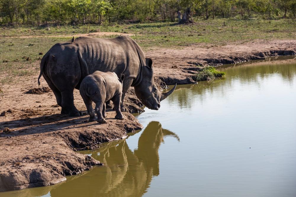 Rhinos, Sabi Sabi, Kruger National Park, South Africa