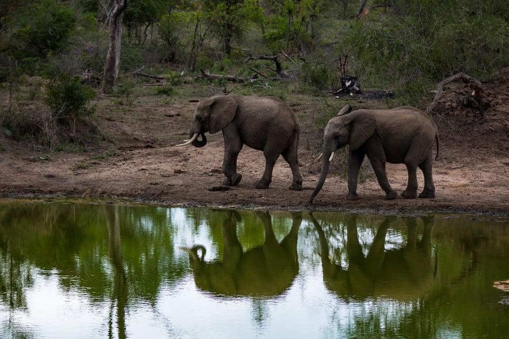 Elephant, Sabi Sabi, Kruger National Park, South Africa