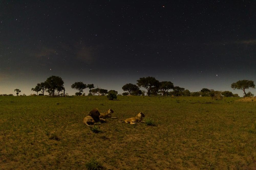 Lion, Sabi Sabi, Kruger National Park, South Africa