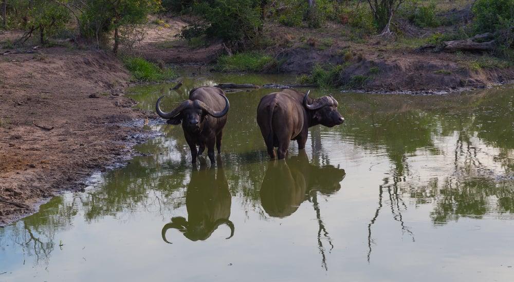 Buffalo, Sabi Sabi, Kruger National Park, South Africa