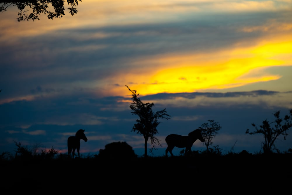 Zebra, Sabi Sabi, Kruger National Park, South Africa
