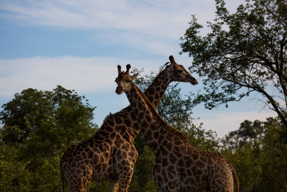 Giraffe, Sabi Sabi, Kruger National Park, South Africa