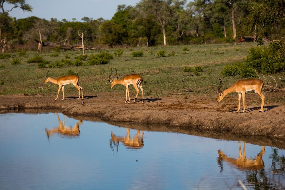 Impala, Sabi Sabi, Kruger National Park, South Africa