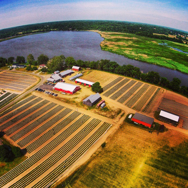 Rows and rows of beautiful, ripe strawberries overlook the Patuxent River.
