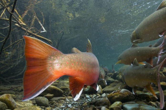 Bull trout 2.jpg