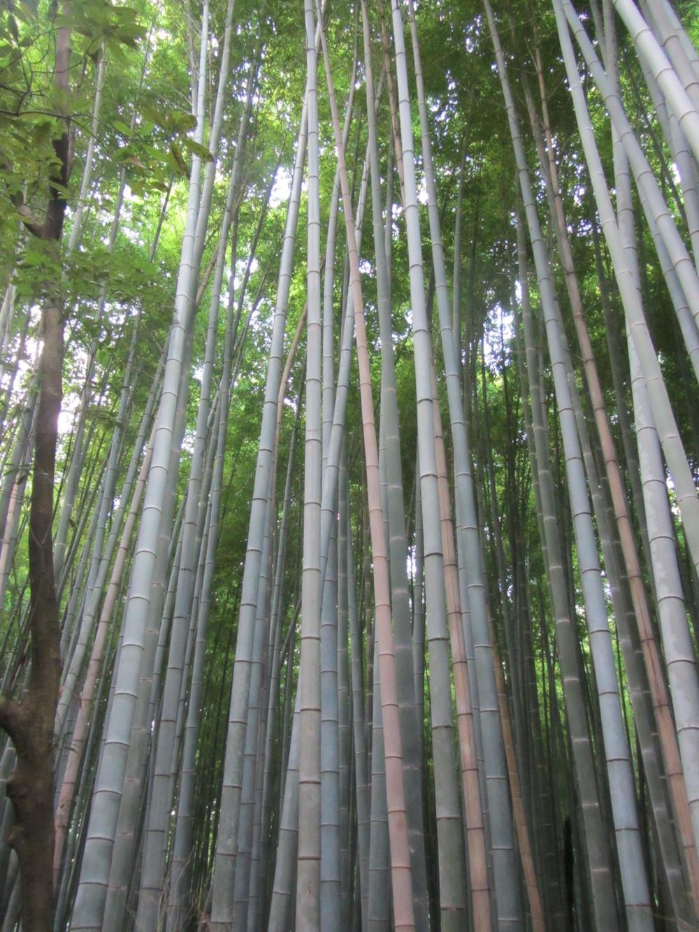 7.19.14 Kyoto, Japan- Arashiyama Bamboo Path (1).JPG
