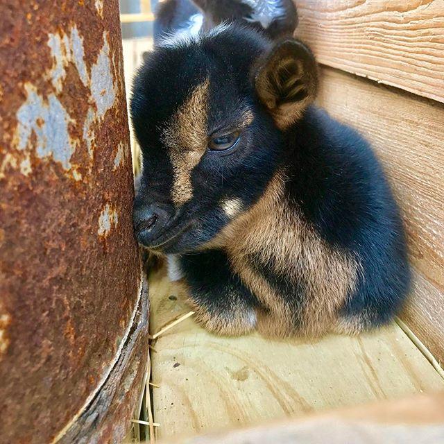 Baby Goats! Meet Paisley! #westendcreamery #babygoats