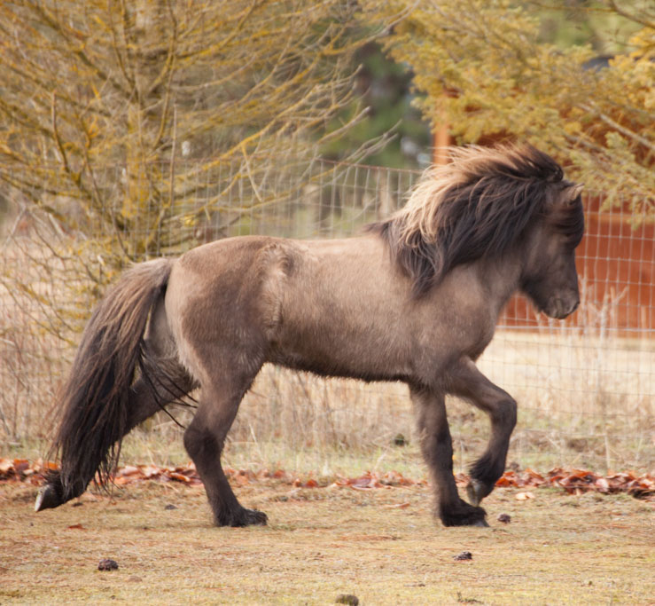 Funi is one of our several stallions that are available for breeding.