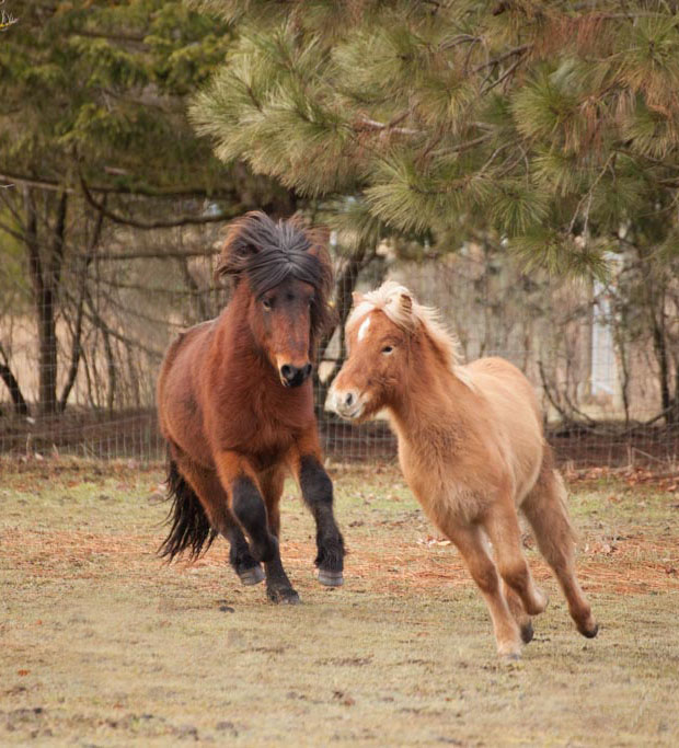 Our stallion Örn chases Fáni through the pasture.