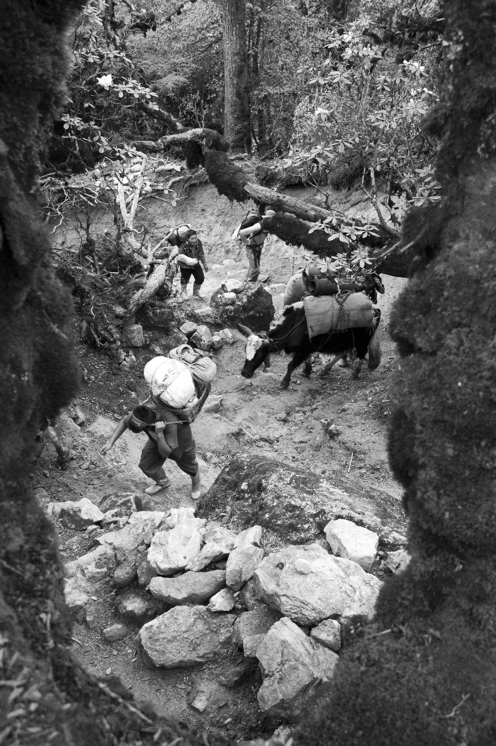 Trekkers climbing to Dzongri in Sikkim, India
