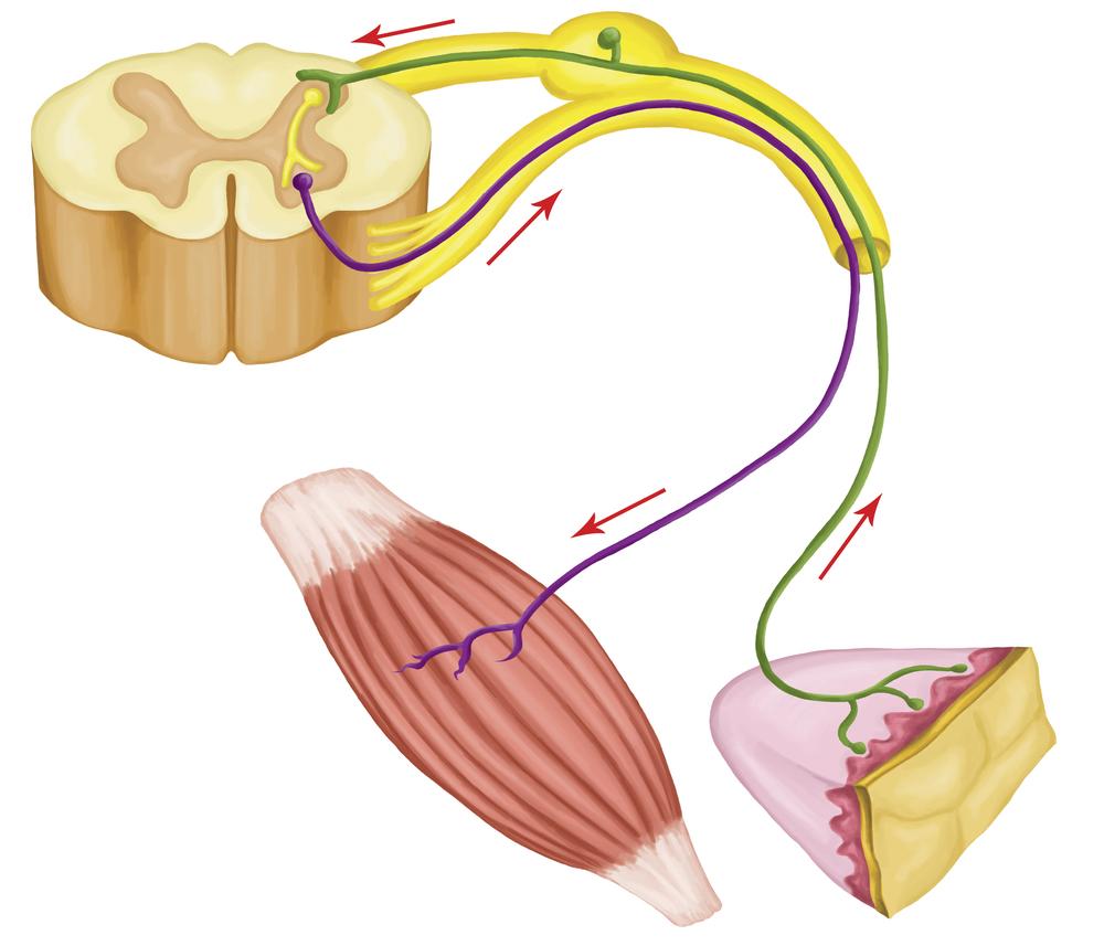 neuromuscular large.jpg