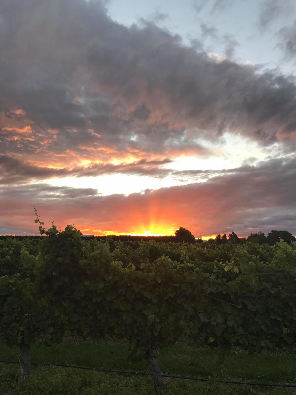 Marlborough sunset over the vines at the Allan Scott Vineyard