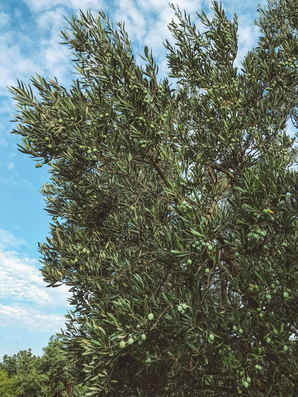 Olives trees are prolific in Croatia. There are ideal growing conditions for cultivating olives thanks to Croatia's geographical position, soil composition and microclimate. Many locals will press their own oil to sell at the markets.