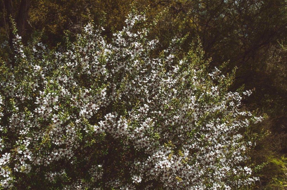 Lepotospermum scoparium in all of it's glory.