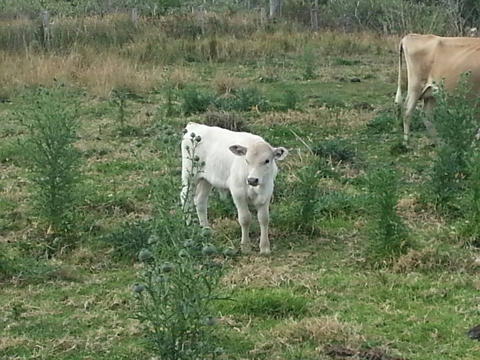 Casper-  Sponsored (and named) by Jodie Marie (one of the new calves at Conondale Cow Sanctuary)