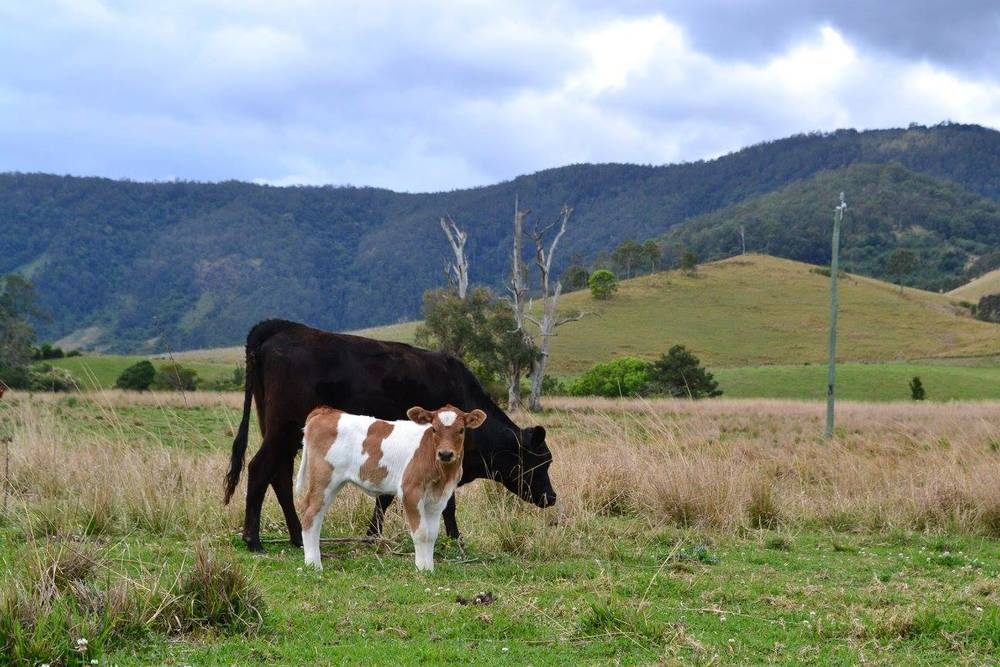 Storm (mum) and Splodge (calf)- Both named and sponsored by Zoe Shaw
