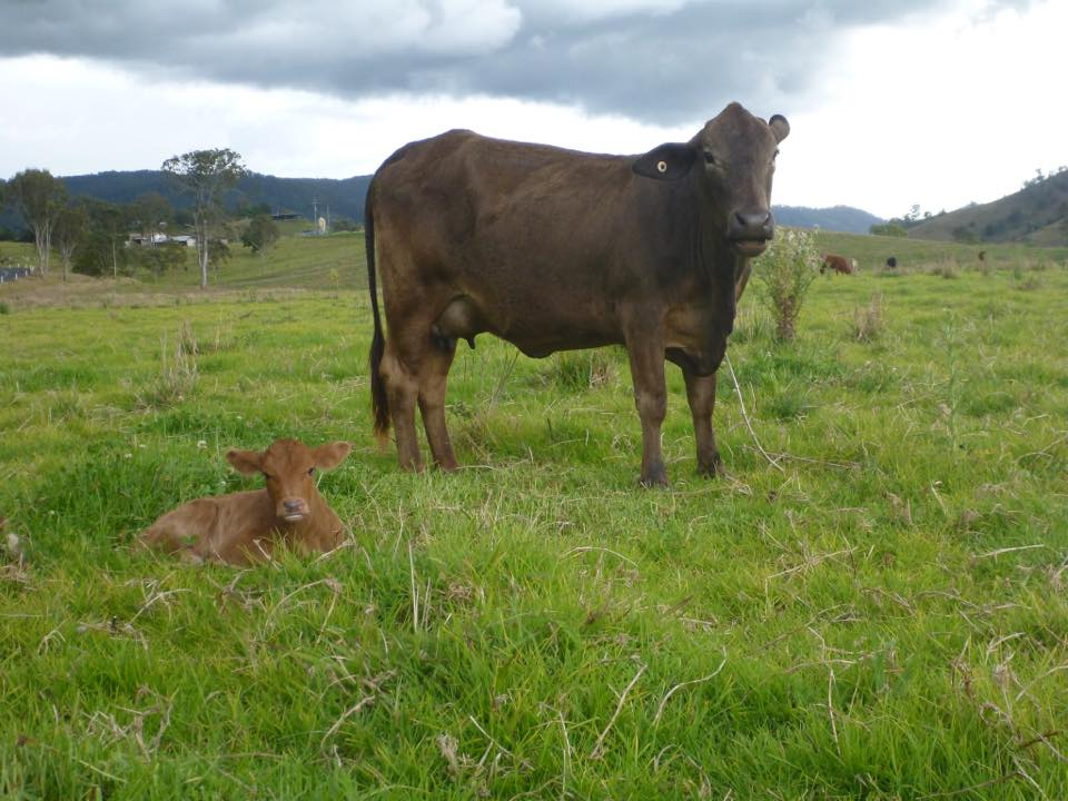 Asha (mum) and Ivy (calf)-  Named and sponsored by Jennifer Allen