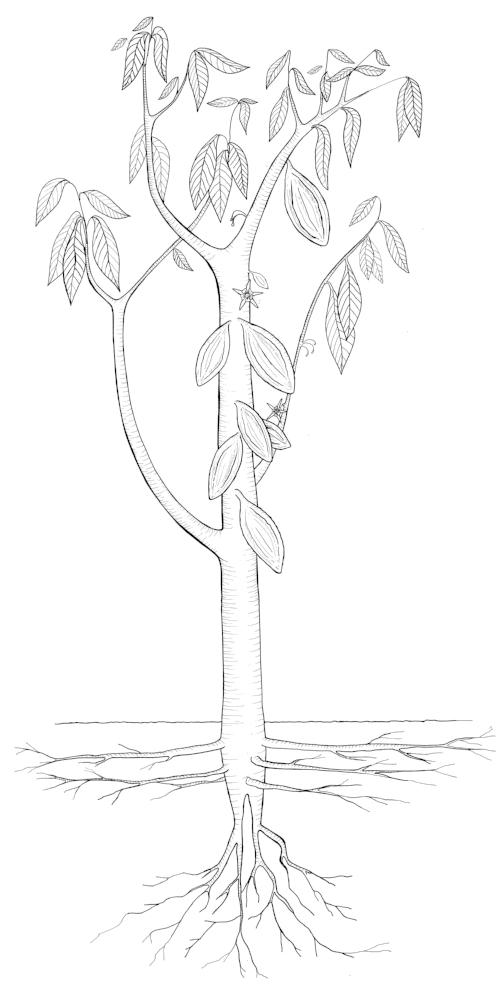 caco tree.jpg
