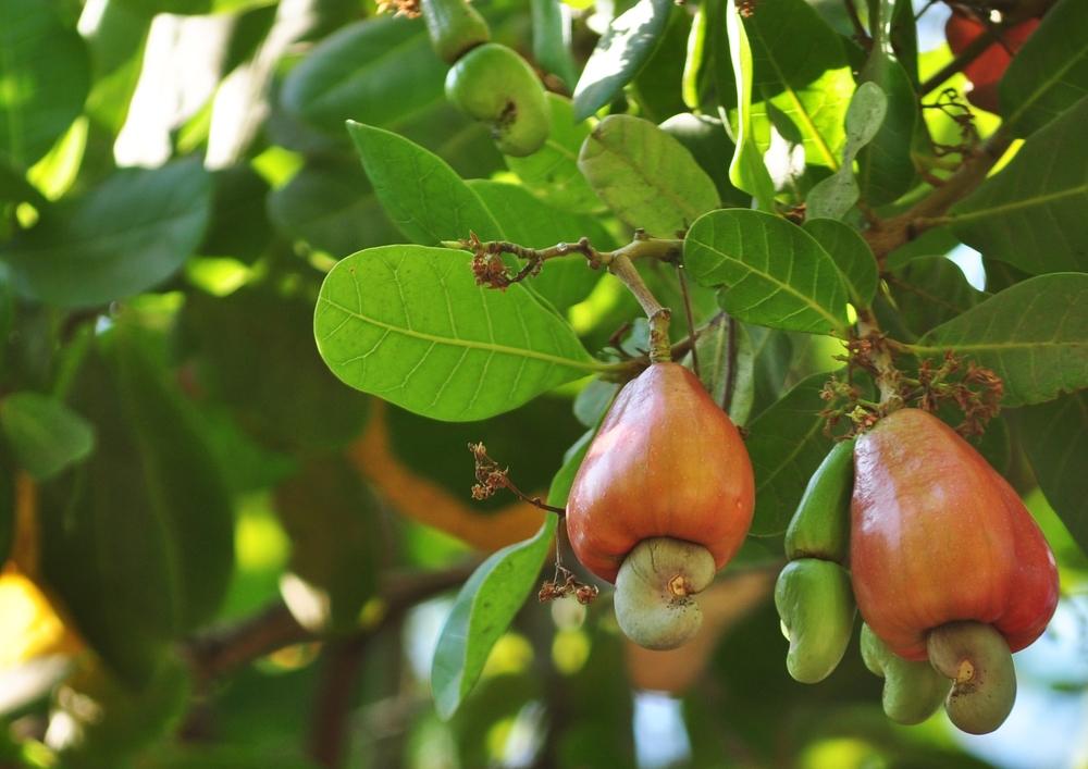 Cashew-fruit.jpg