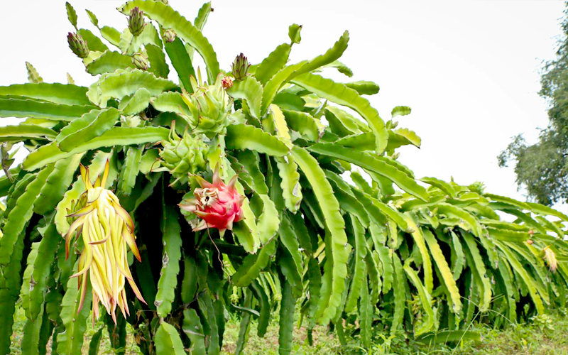 dragonfruit-gallery-08.jpg