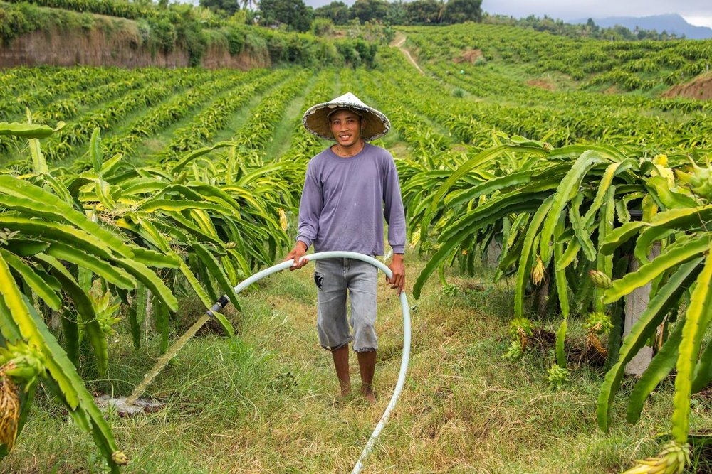 [PMA_DragFruit_69]Nyoman Subandi watering the plantation -Farm worker 8.jpg