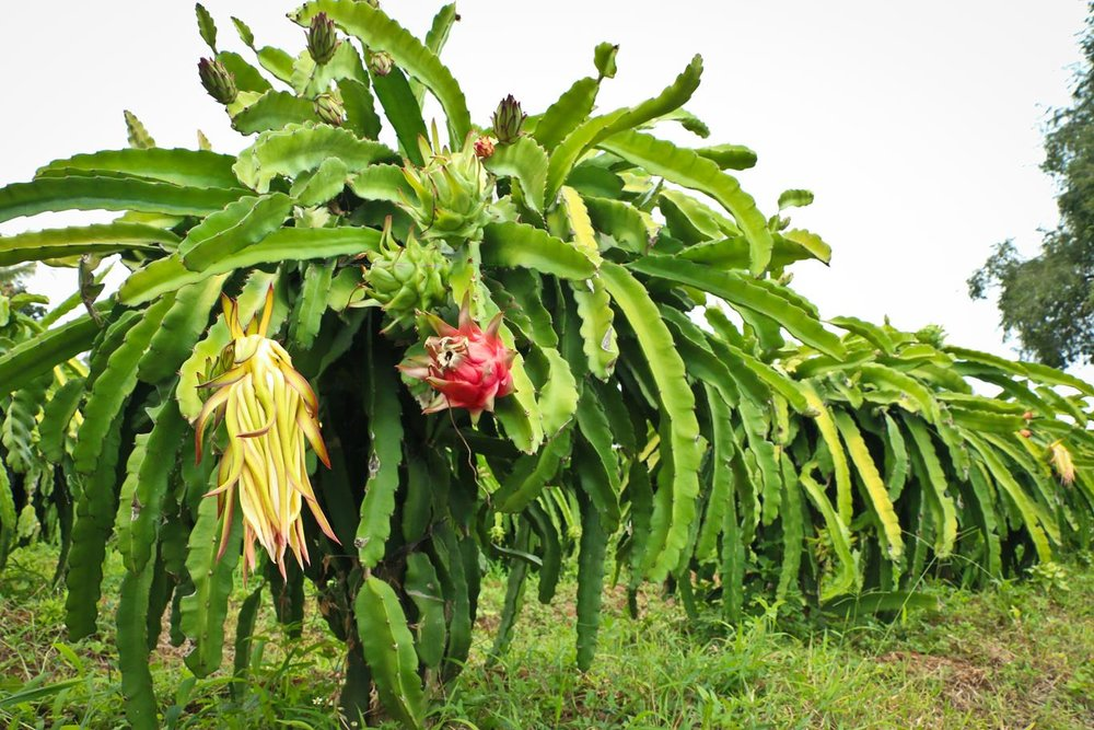 [PMA_DragFruit_29]Dragon fruits and flower on tree (1).jpg