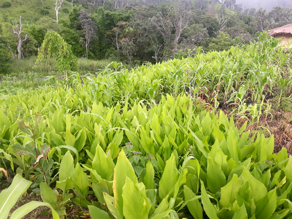 Wild turmeric (the broad-leaf plants) is part of the natural landscape on Alor island.