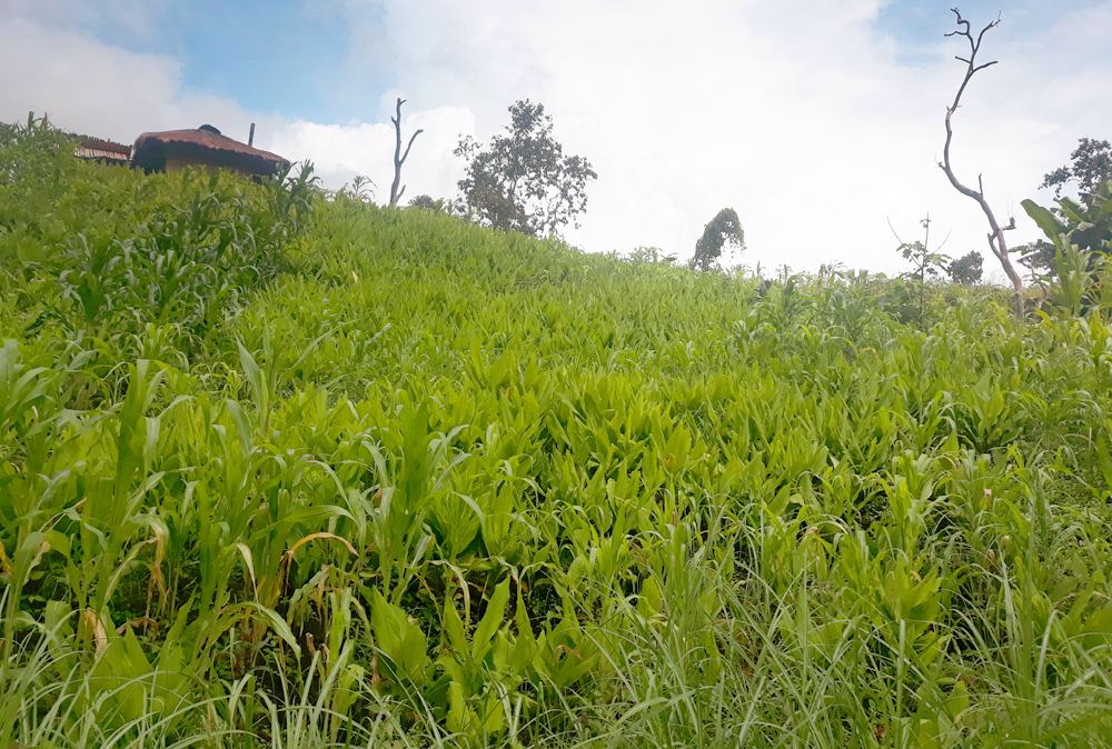 Grass and turmeric carpeting the hillside.