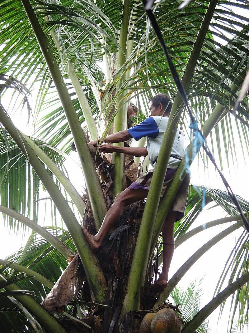 Coconut Palm - medium.jpeg