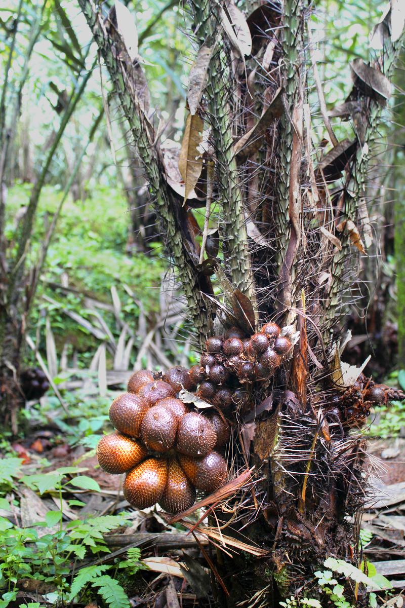 Salacca-fruit-tree-01.jpg
