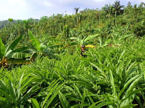 PMA-galangal-plants1.jpg