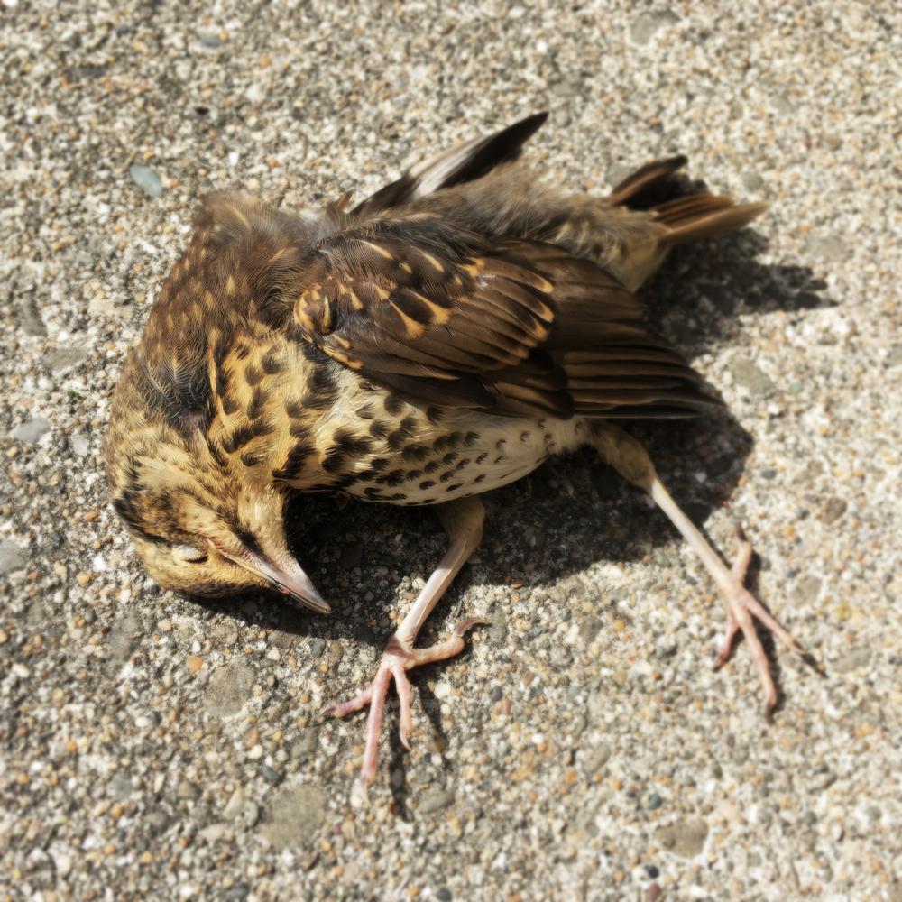 Dead-bird.jpg