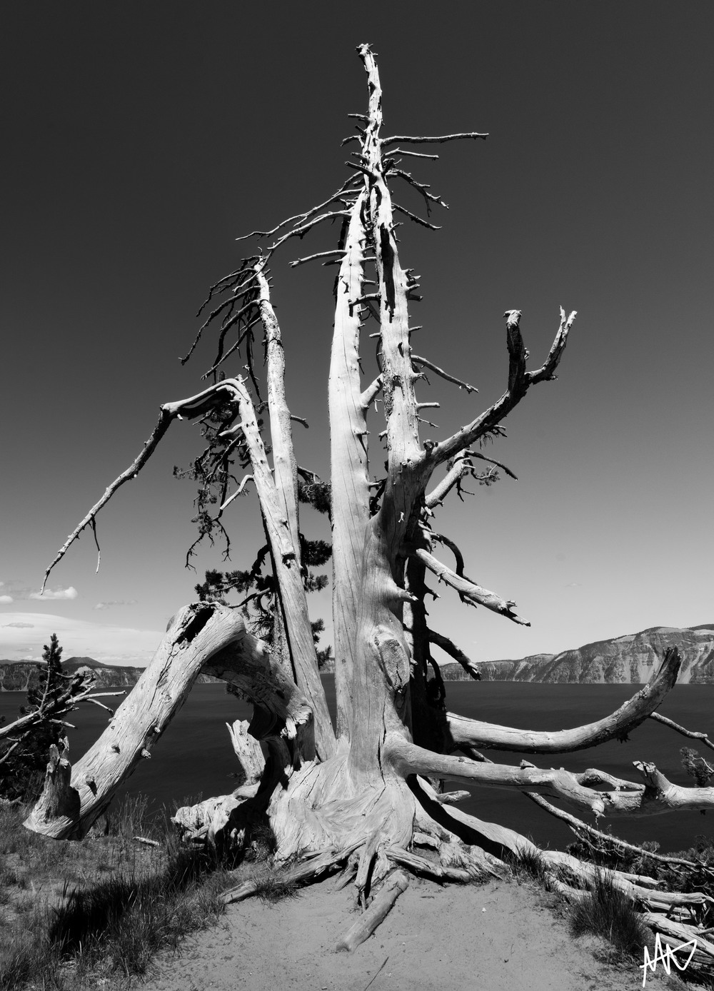 Dead Pine  - Crater Lake National Park