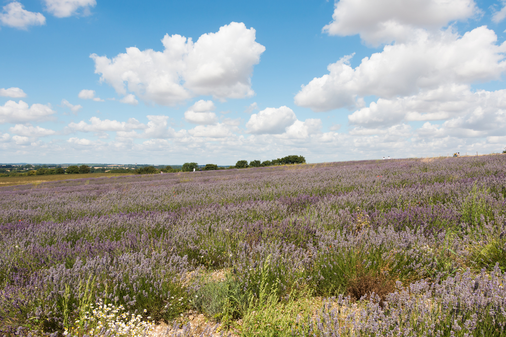 Hitchin Lavender Farm | Sea of Atlas