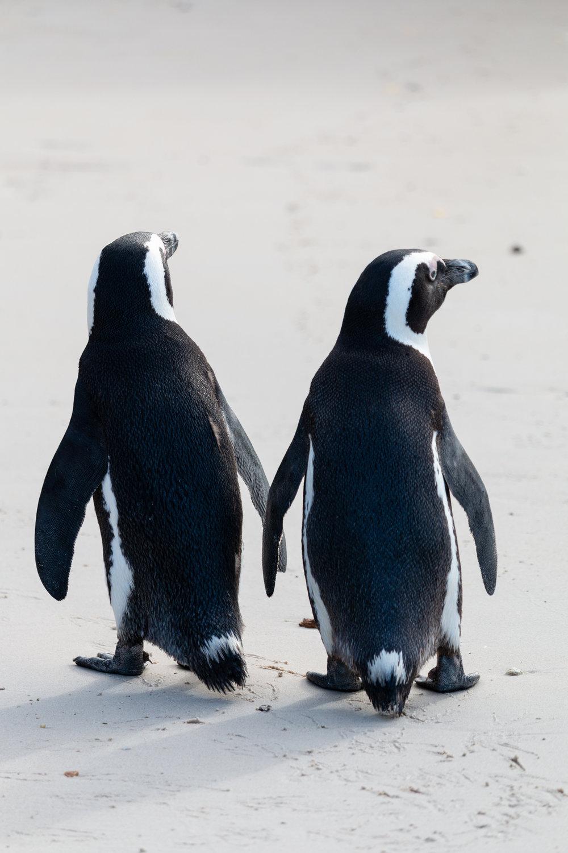 Boulders Penguin Colony | Simon's Town, South Africa | Ciao Fabello