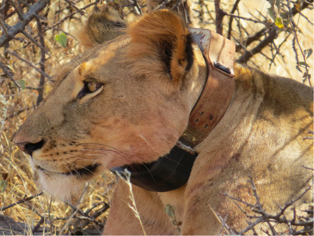 Photo: Ewaso Lions
