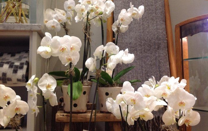 whiteorchids-700x441.jpg