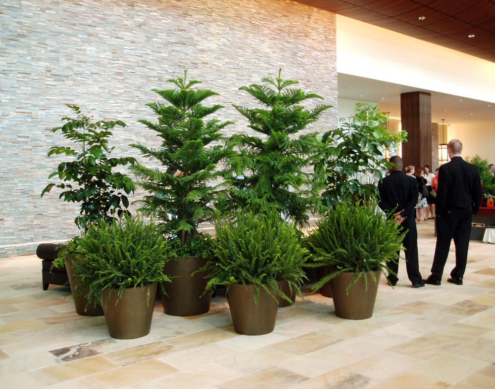 Norfolk Pine. Harding Botanicals. Interior plantscape
