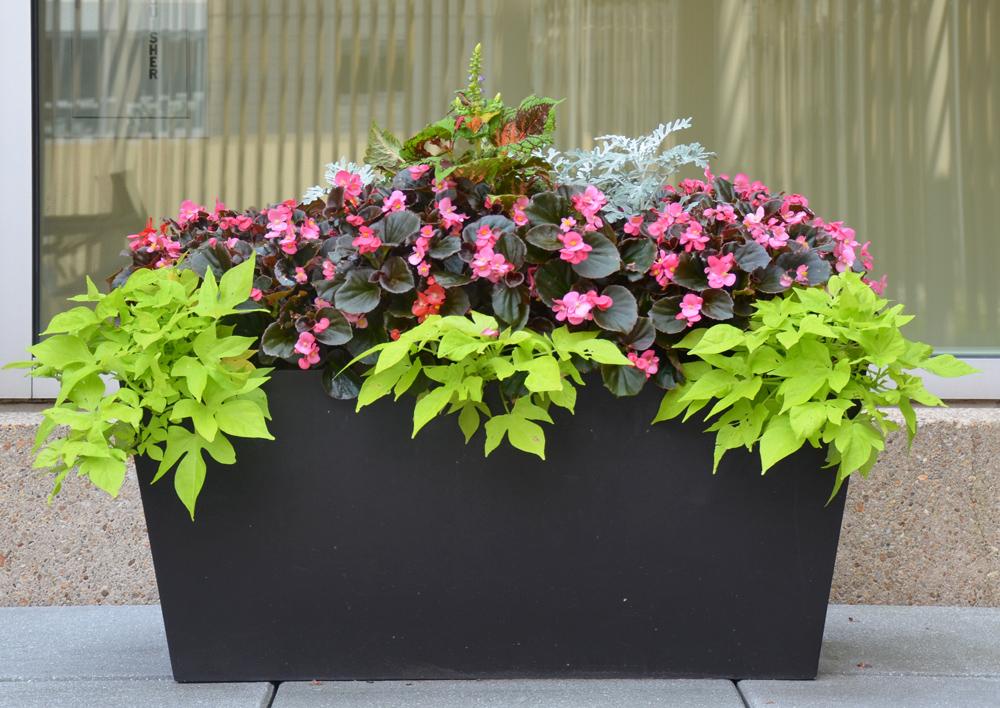 Container Garden. Begonias. Harding Botanicals