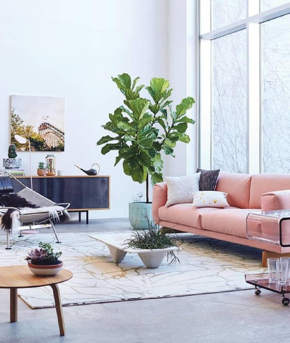 Ficus Lyrata 1.jpg