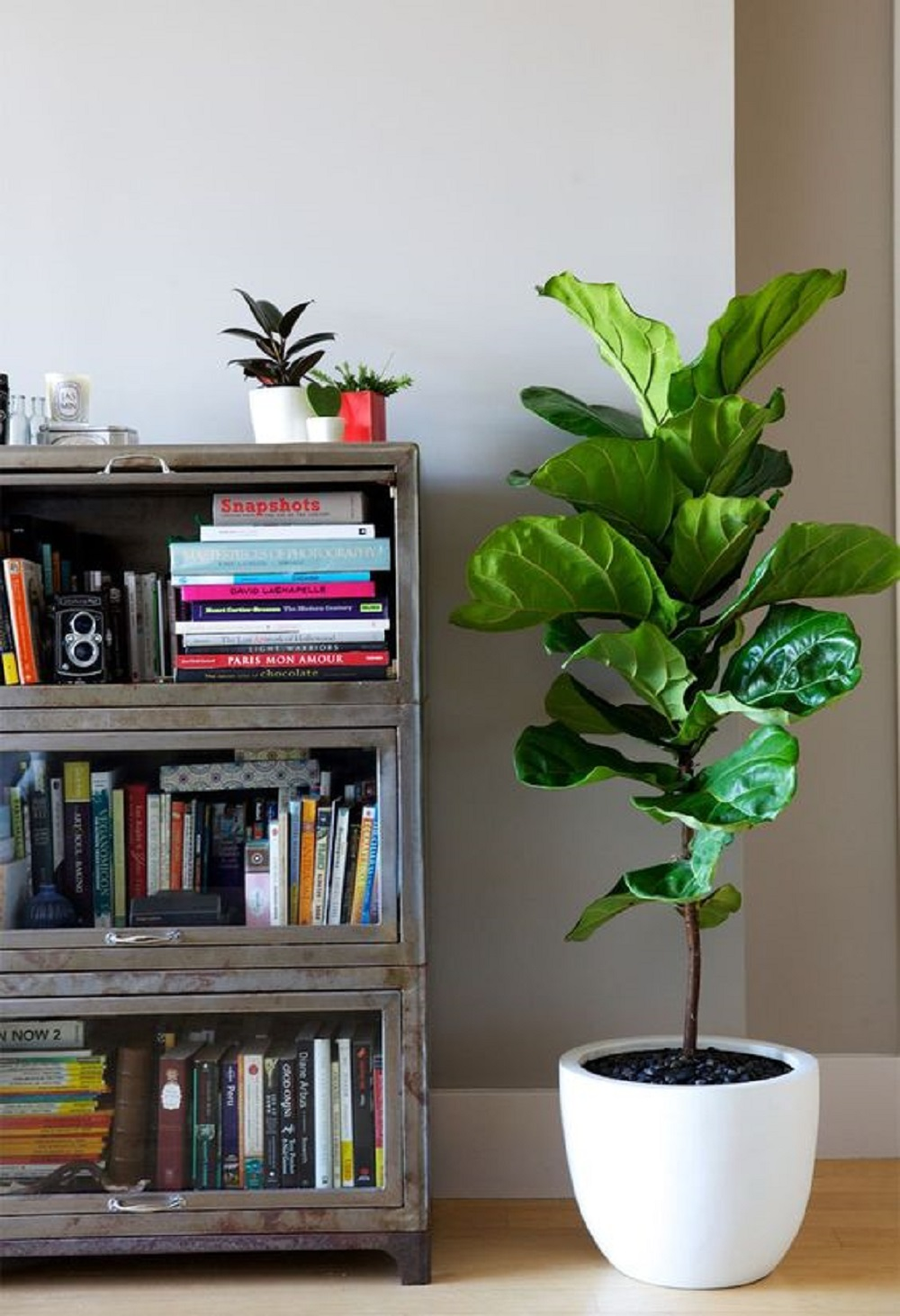 Ficus Lyrata 2.jpg