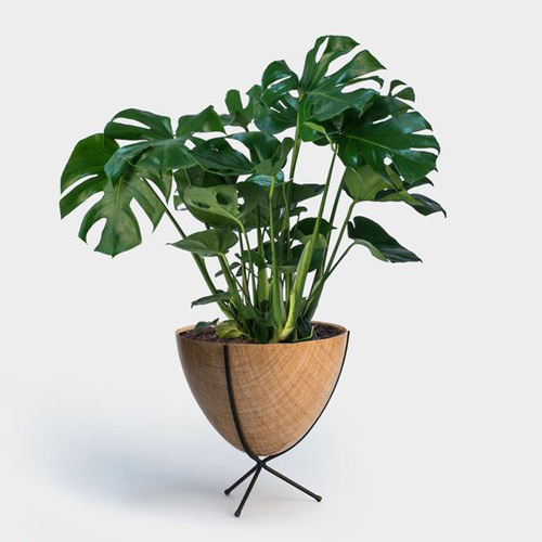 Philodendron Monstera Deliciosa    Image courtesty of   https://greenerynyc.com/shop/monstera-deliciosa/
