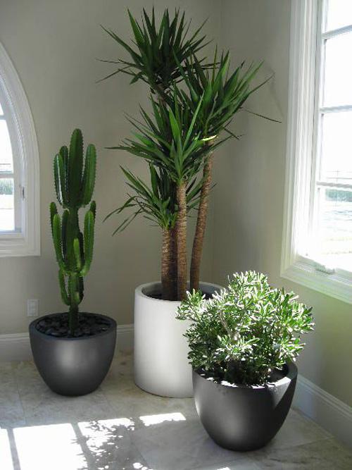 Yucca Cane, Cactus Cereus Peruvianus, Jade Plant