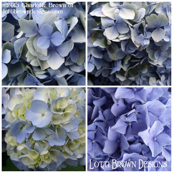 Beautiful hydrangeas take their blue coloring from the acidic conditions in the soil - stunning!